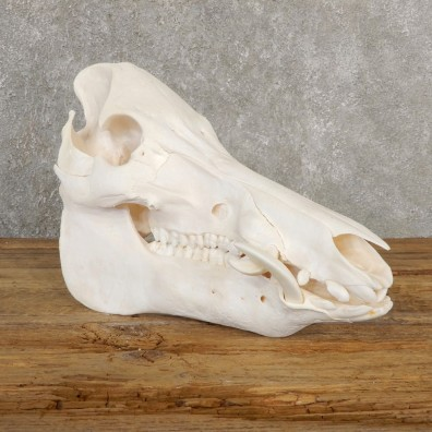 Wild Boar Full Skull Mount #20635 For Sale @ The Taxidermy Store