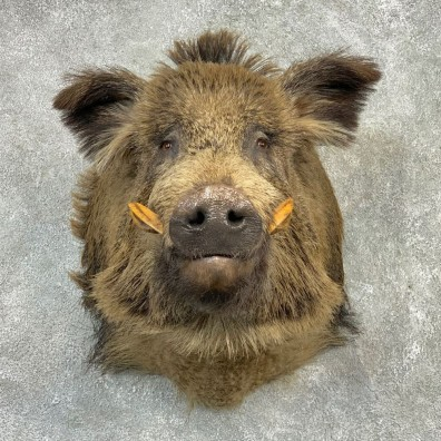 Wild Boar Shoulder Mount For Sale #21991 @ The Taxidermy Store