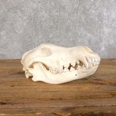 Wolf European Full Skull For Sale #18552 @ The Taxidermy Store