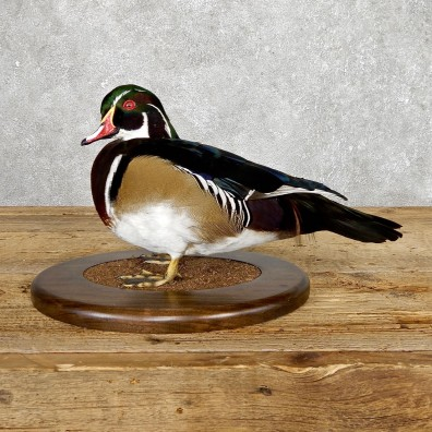 Wood Duck Taxidermy Bird Mount For Sale #19432 @ The Taxidermy Store