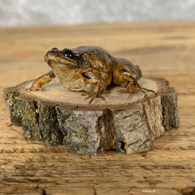 Wood Frog Taxidermy Mount For Sale #21547 @ The Taxidermy Store