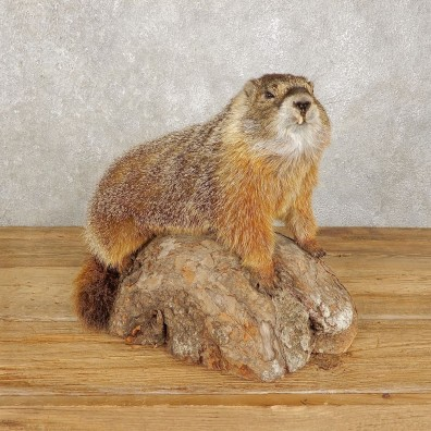 Yellow-Bellied Marmot Life-Size Mount For Sale #20383 @ The Taxidermy Store