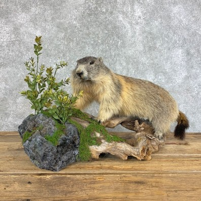 Yellow-Bellied Marmot Life-Size Mount For Sale #22202 @ The Taxidermy Store