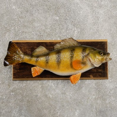Yellow Perch Fish Mount For Sale #20966 @ The Taxidermy Store
