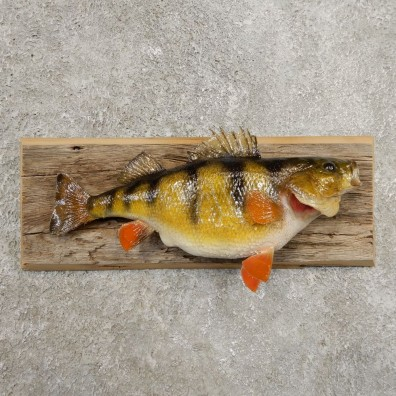 Yellow Perch Fish Mount For Sale #20968 @ The Taxidermy Store