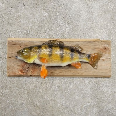 Yellow Perch Fish Mount For Sale #20971 @ The Taxidermy Store