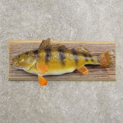 Yellow Perch Fish Mount For Sale #20974 @ The Taxidermy Store