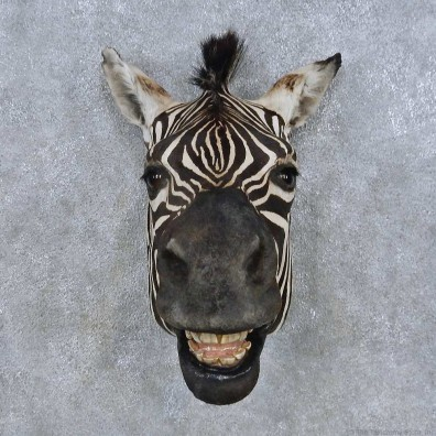 African Zebra Head Mount For Sale #14695 @ The Taxidermy Store