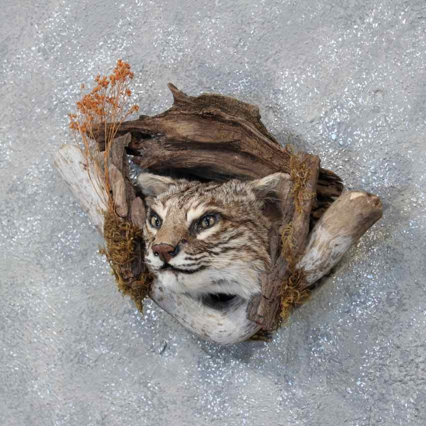 Bobcat Head Mount 10110 The Taxidermy Store