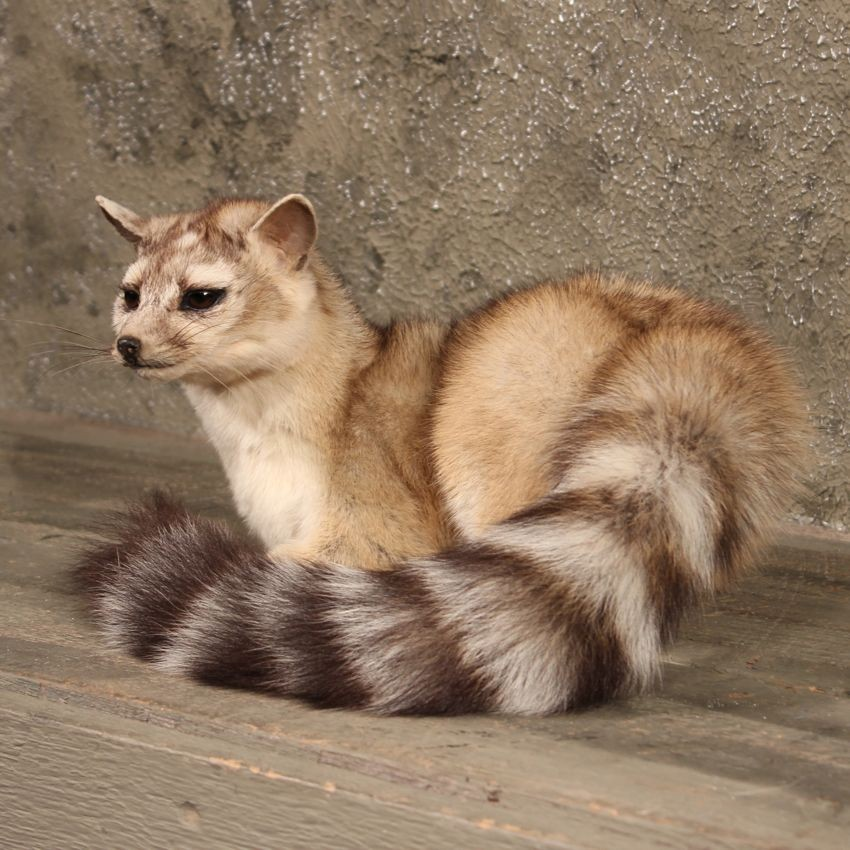Ring-Tailed Cat Mount #10175 - The Taxidermy Store Raccoon With No Hair