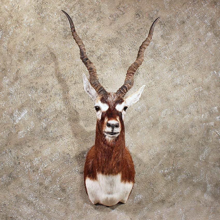 Blackbuck antelope mount - photo#17