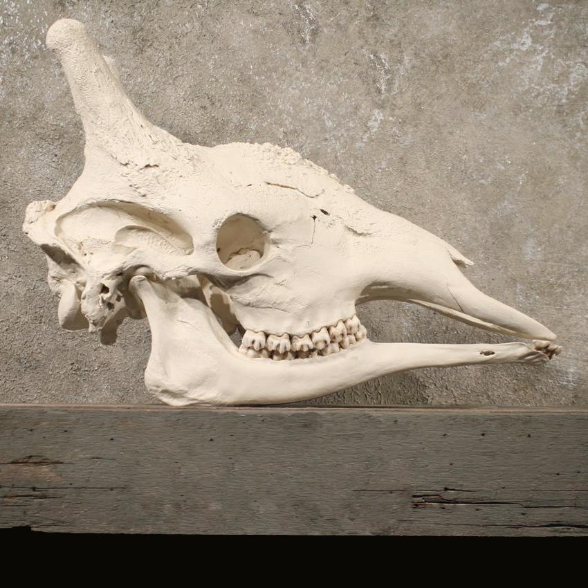 African Giraffe Full Skull #10629 - The Taxidermy Store
