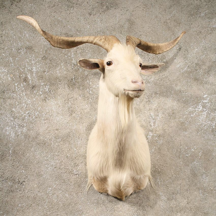 White Catalina Goat Mount #10640 - The Taxidermy Store