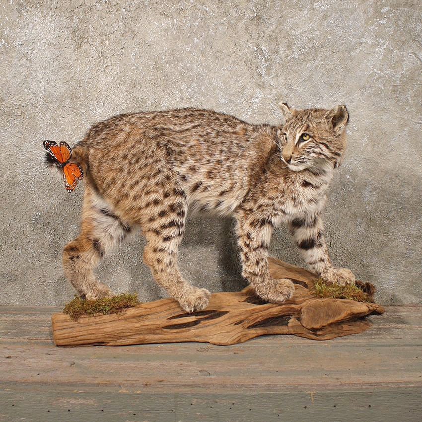 Standing Bobcat Mount #10774 - The Taxidermy Store