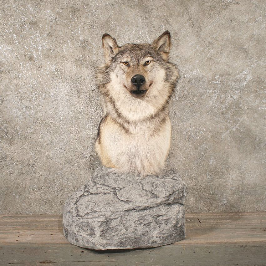Gray Wolf Pedestal Taxidermy Mount 10778 The Taxidermy