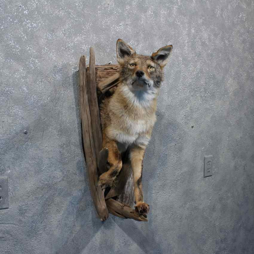Coyote Wall Hanging Mount 10881 The Taxidermy Store