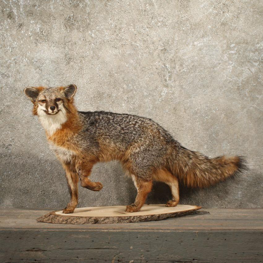 Grey Fox Taxidermy Mount 10889 The Taxidermy Store