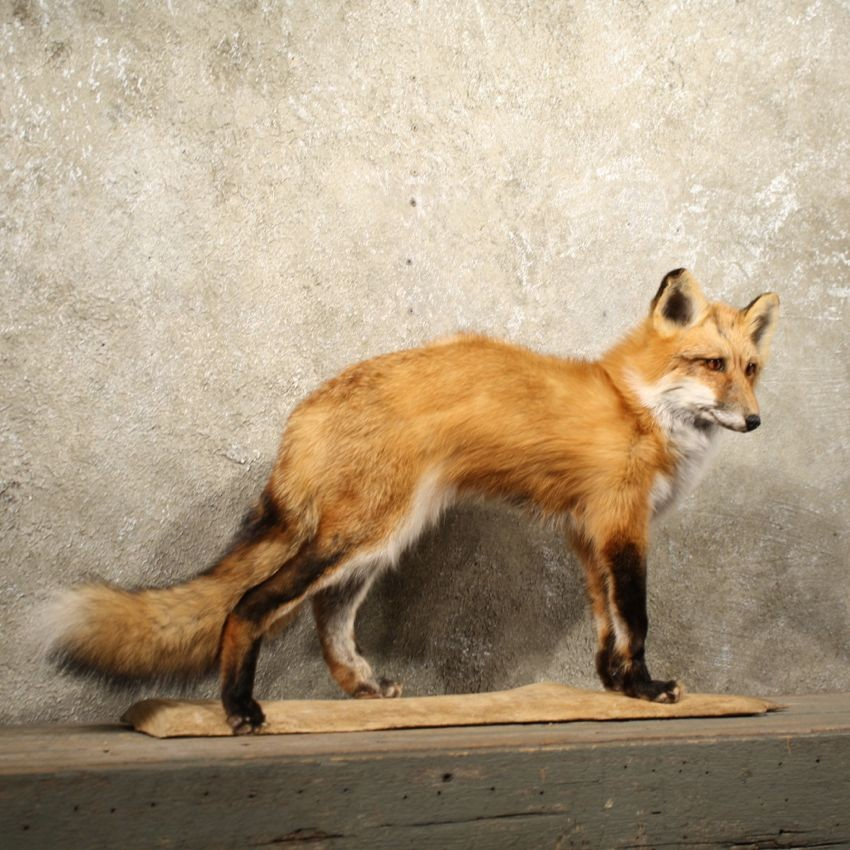 Standing Red Fox Mount 10900 The Taxidermy Store