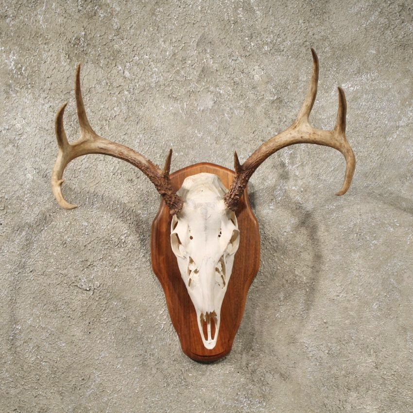 Whitetail Deer Antler Plaque #10921 - The Taxidermy Store
