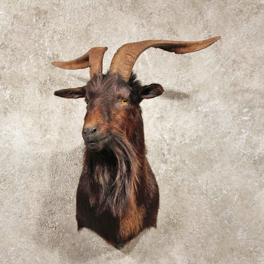 Black Catalina Goat Mount #11019 - The Taxidermy Store