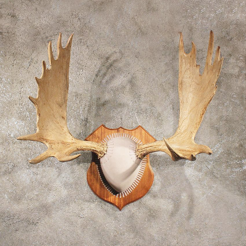 Moose Antler Mount #11036 - The Taxidermy Store