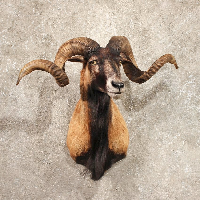 Coriscan Ram Sheep Shoulder Taxidermy Mount For Sale