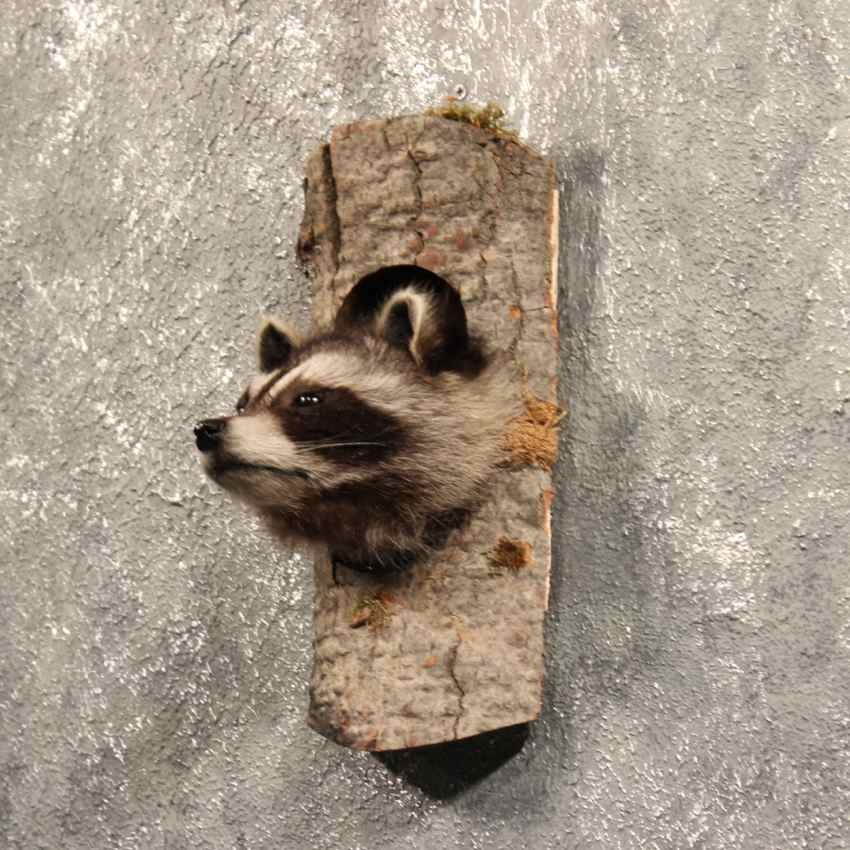 raccoon hispanic singles Nearly 50 percent of minnesota adults aren  has dropped from 53 percent married to 44 percent in a single  large proportion of non-hispanic.