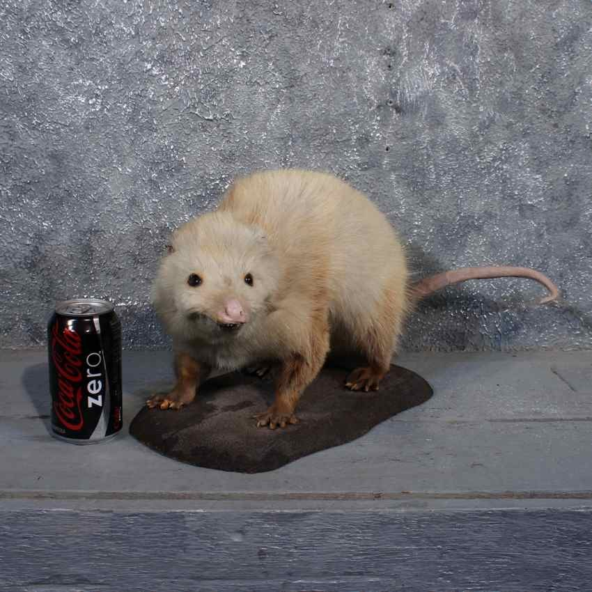 Vintage Opossum Mount For Sale #11480 - The Taxidermy Store