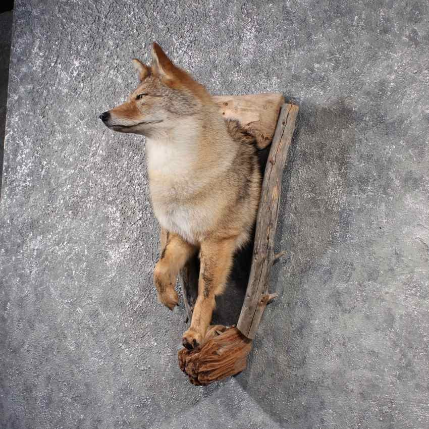 Coyote Mount 11501 For Sale The Taxidermy Store
