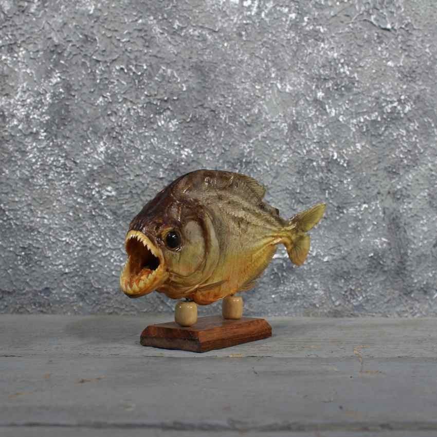 Red Bellied Piranha Fish Mount #11675 - The Taxidermy Store