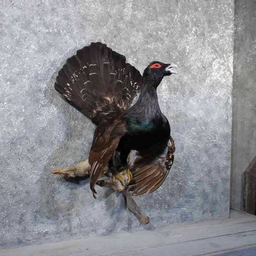 western capercaillie grouse mount  11782