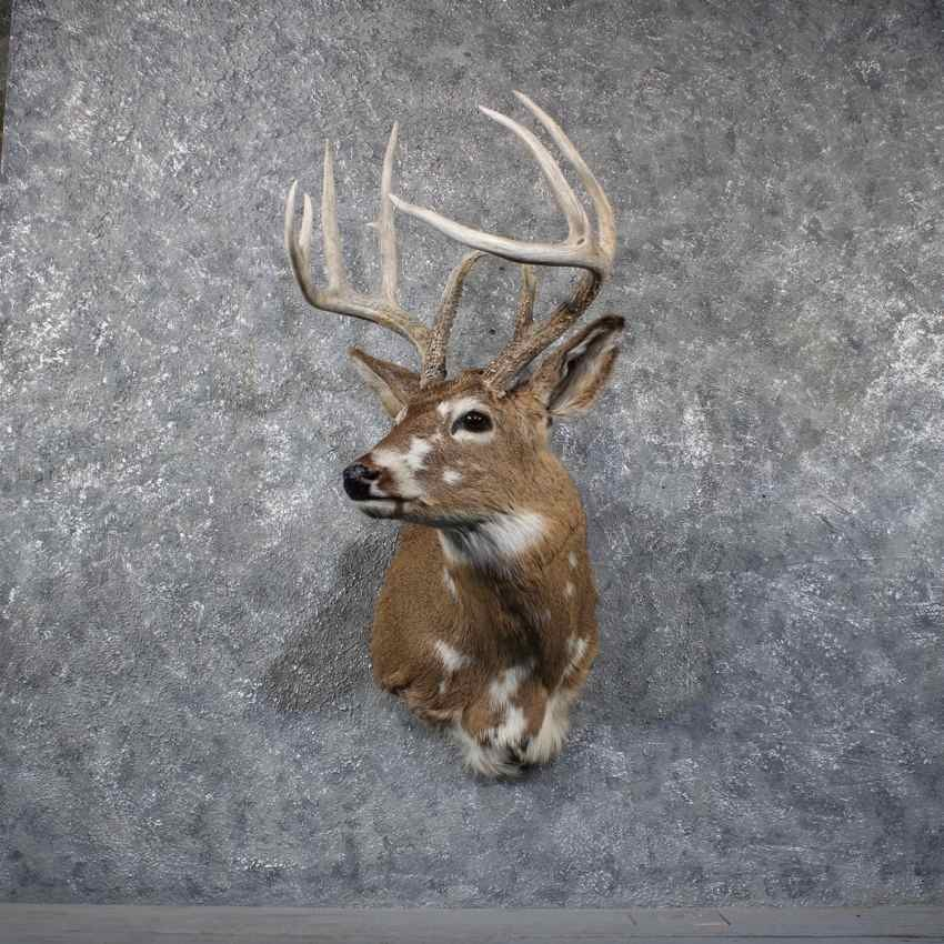 Piebald Whitetail Deer Shoulder Mount #11797 For Sale @ The Taxidermy ...