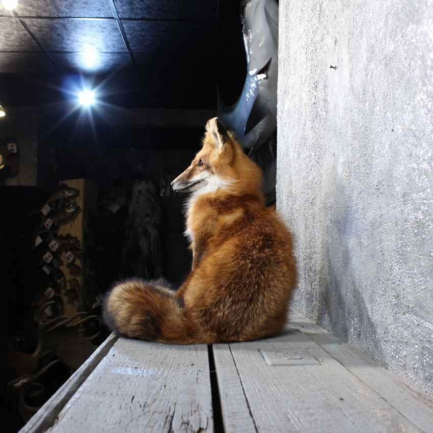 Red Fox Sitting Mount 11809 For Sale The Taxidermy Store