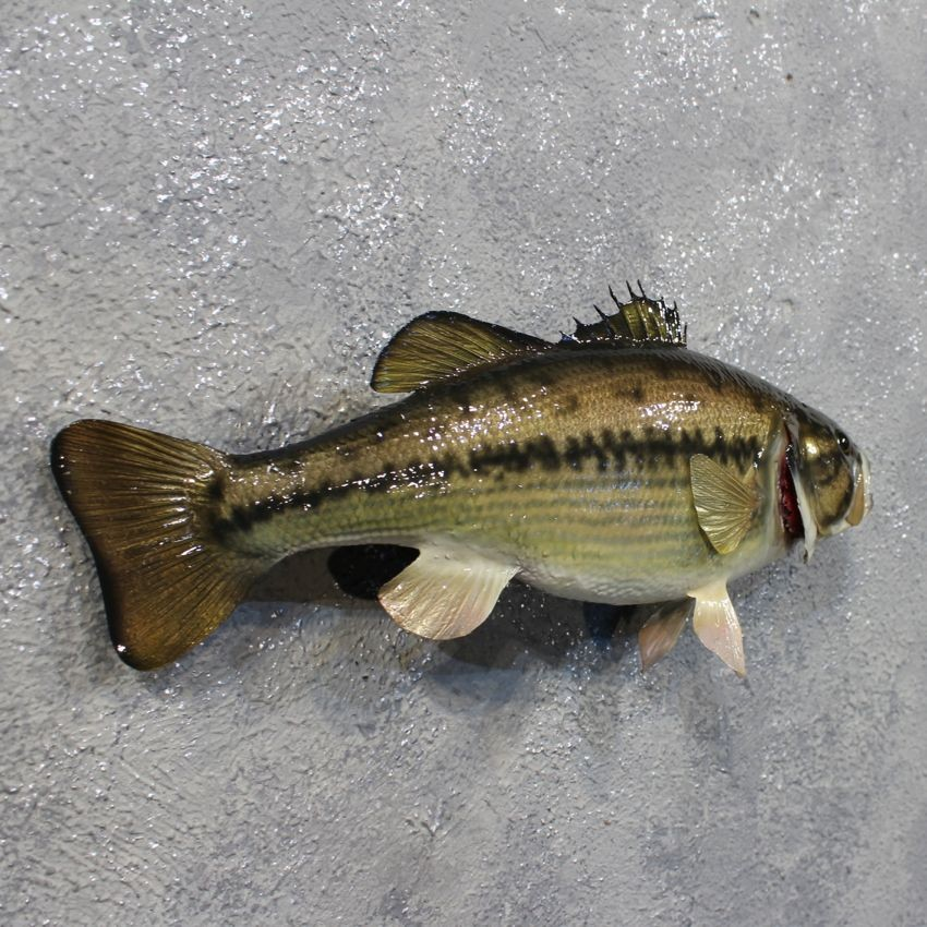 Largemouth bass fish mount 12225 the taxidermy store for Bass fish for sale