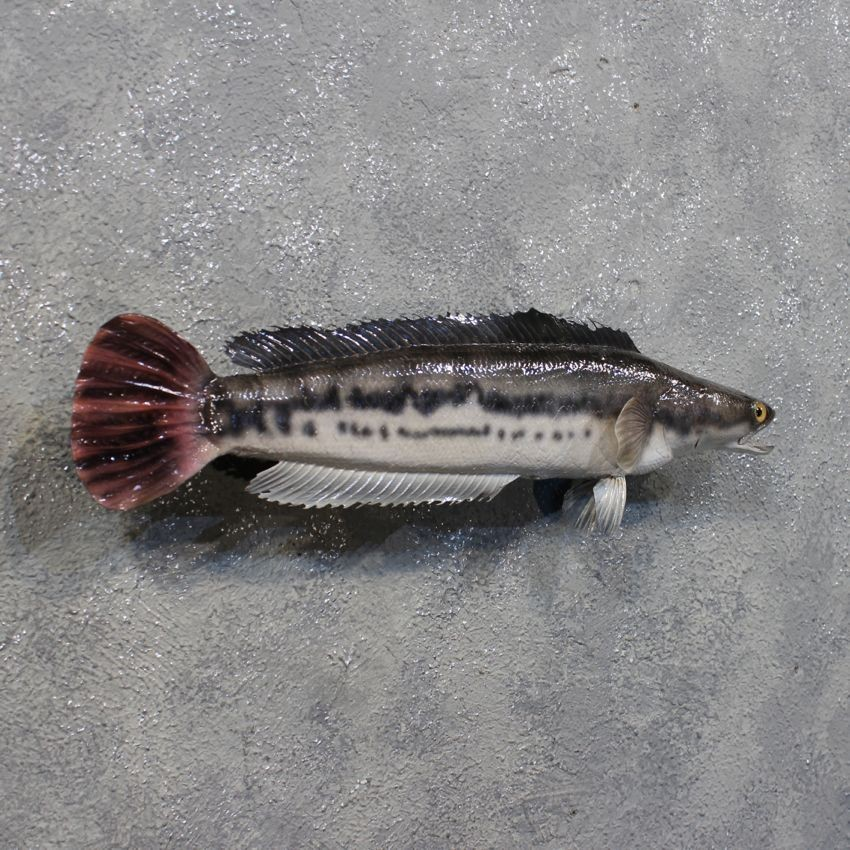 how to fish for snakehead