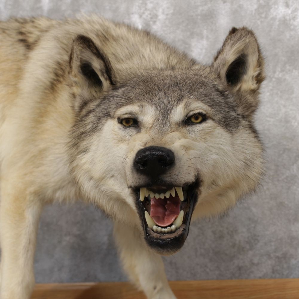 Gray Wolf Taxidermy Mount 12317 The Store