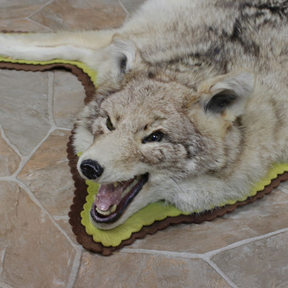 Coyote Taxidermy Rug For Sale #12328 For Sale @ The Taxidermy Store