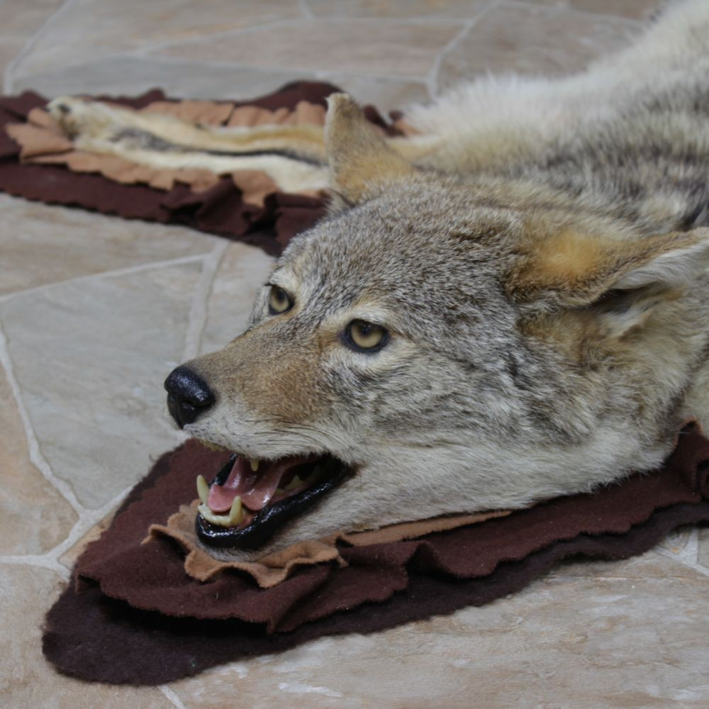 Coyote Taxidermy Rug For Sale #12329 For Sale @ The Taxidermy Store