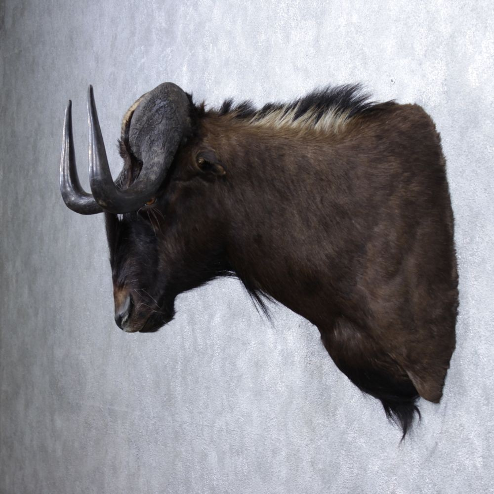 African Black Wildebeest Mount For Sale #12365 - The ...