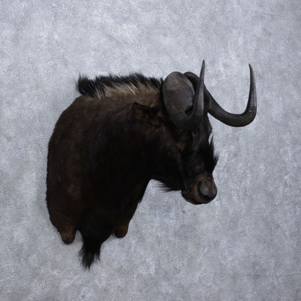 African Black Wildebeest Mount #12367 - The Taxidermy Store