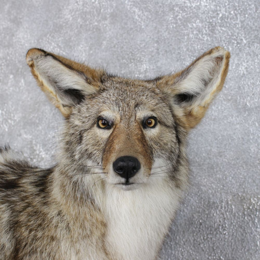 coyote in latin
