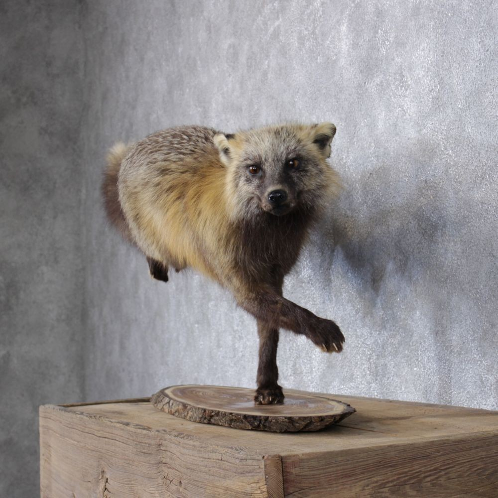 Cross Fox Standing Mount #12399 For Sale @ The Taxidermy Store