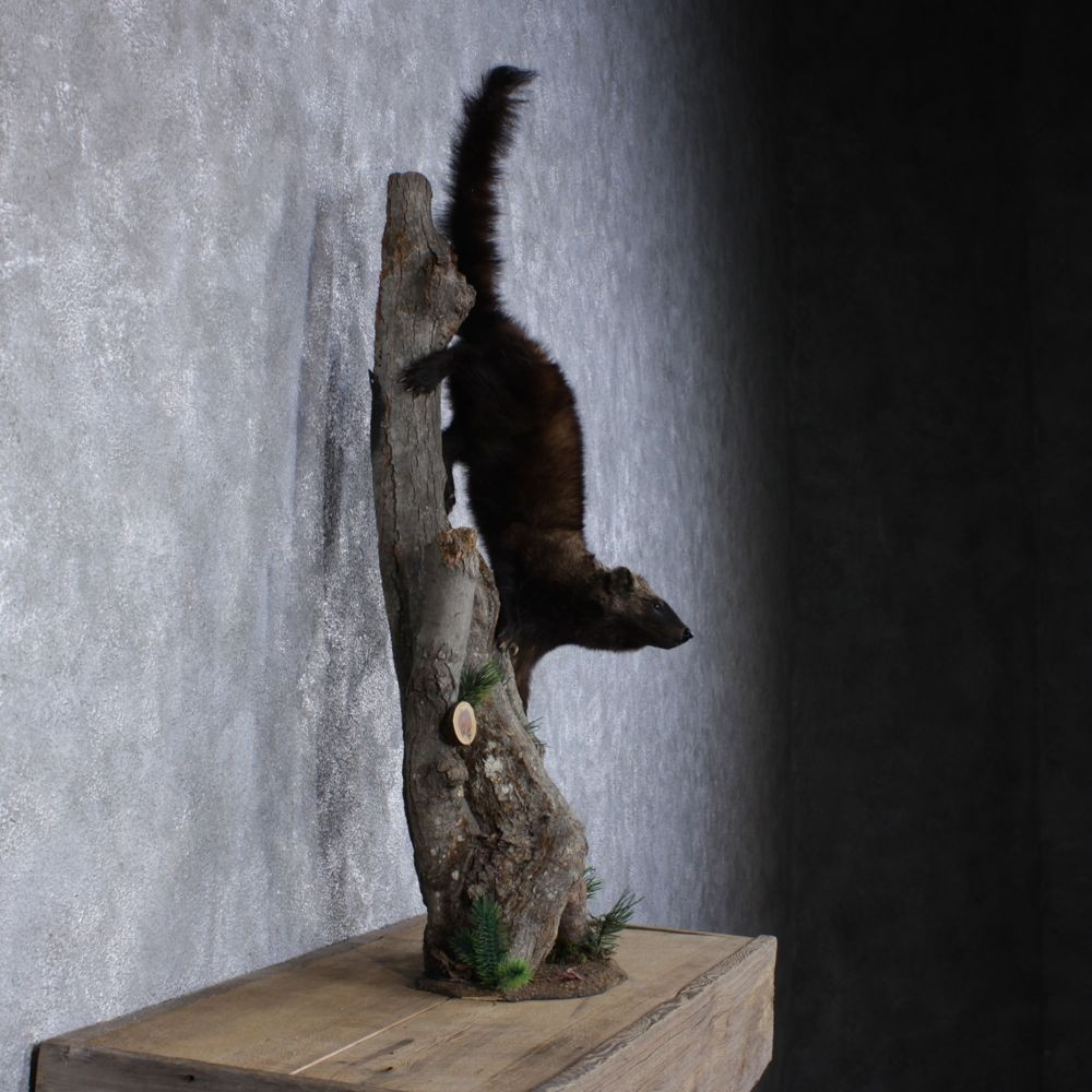 Fisher Taxidermy Mount For Sale #12406 - The Taxidermy Store