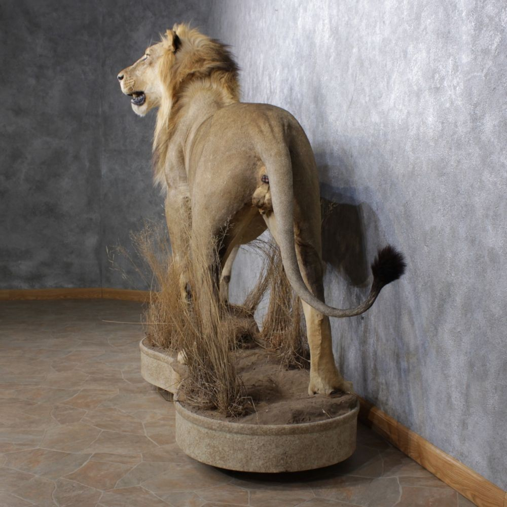 African Lion Mount For Sale #12505