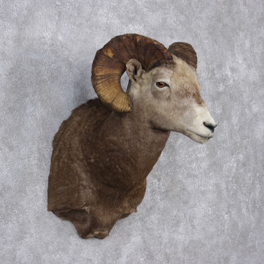 bighorn sheep mount for sale  12515