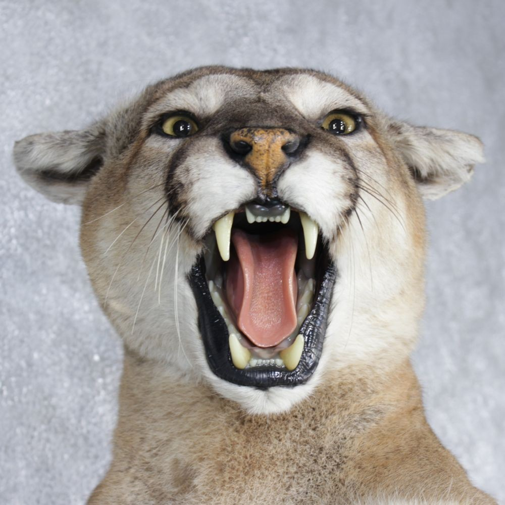 Mountain Lion / Cougar Life Size Mount For Sale #12616