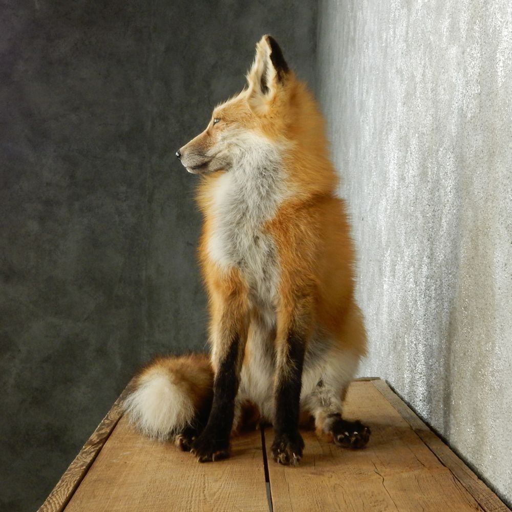 Red Fox Sitting Mount For Sale 12669 The Taxidermy Store