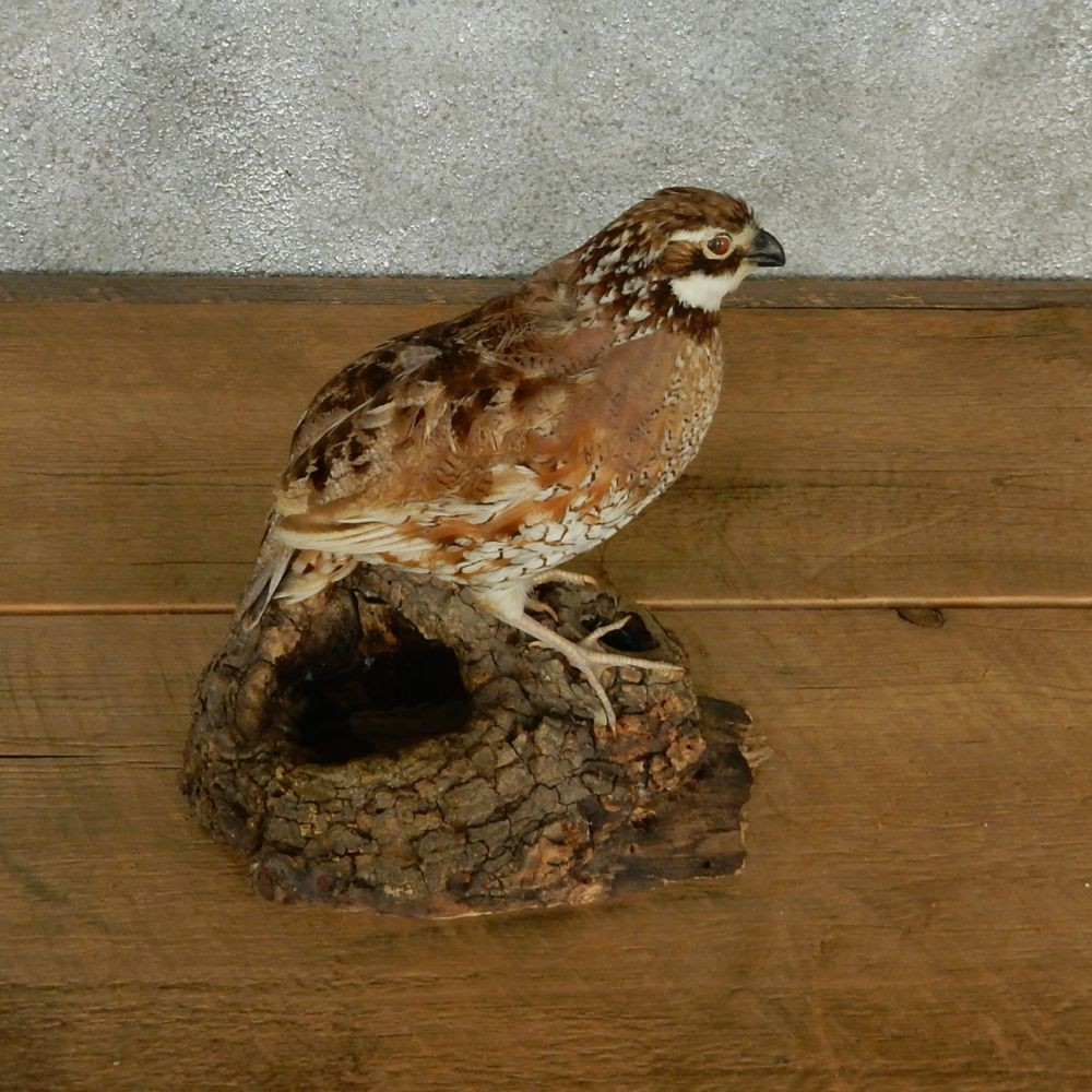 Button Quails for Sale | BackYard Chickens