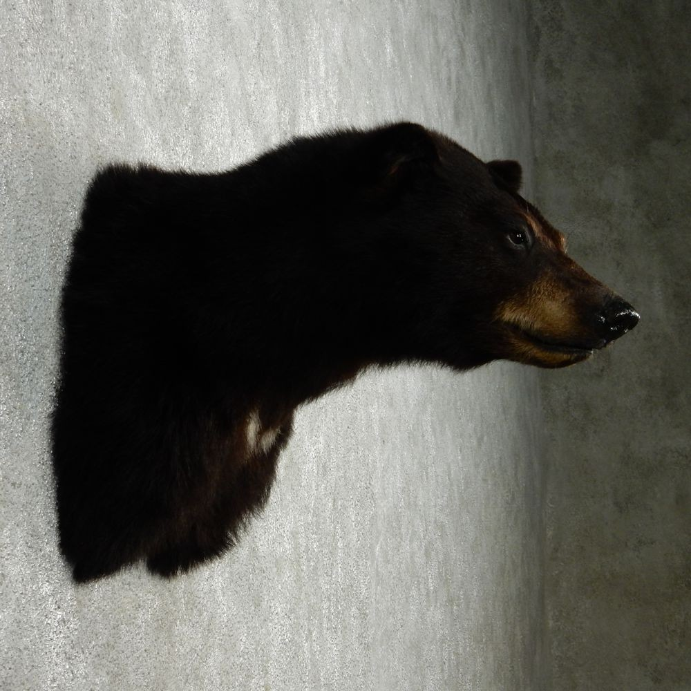 Black Bear Shoulder Mount For Sale #12720 - The Taxidermy ...