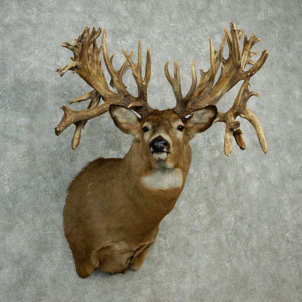 Whitetail Deer Mount For Sale 12750 The Taxidermy Store